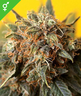 California Orange Bud Seeds