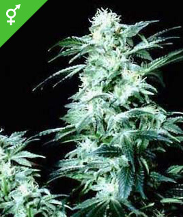 Crystal Regular Seeds